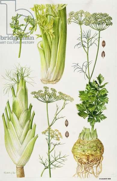 Celery, Fennel, Dill and Celeriac (w/c)