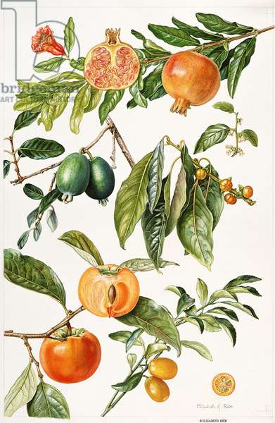 Pomegranate and other fruit (w/c)