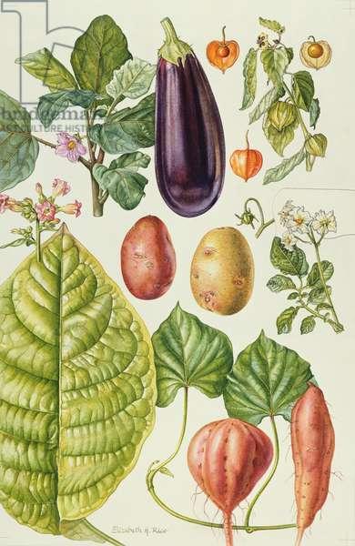 Potato, Aubergine, Tobacco and Winter Cherry (w/c)