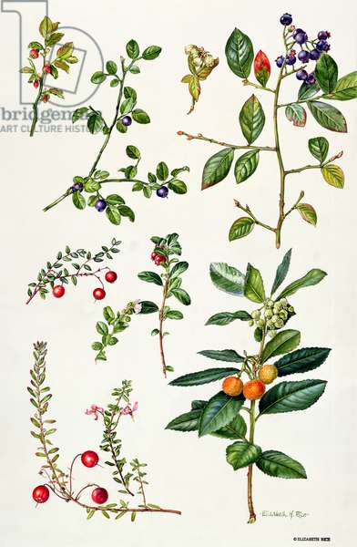 Cranberry and other berries (w/c)