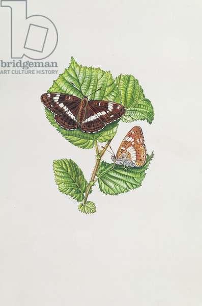 White Admiral Butterfly on Hazel leaves (w/c)
