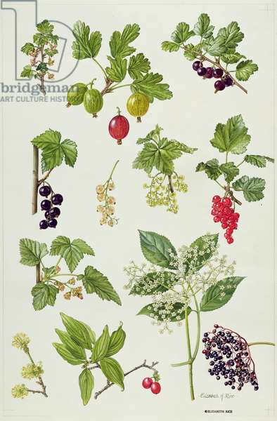 Currants and Berries (w/c)
