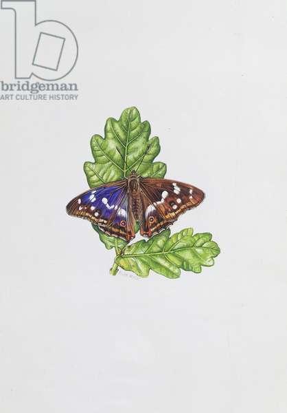 Purple Emperor Butterfly on Oak leaves (w/c)