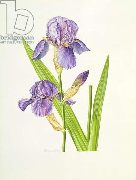 Iris (w/c)