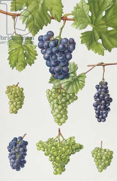 Grapes (w/c)