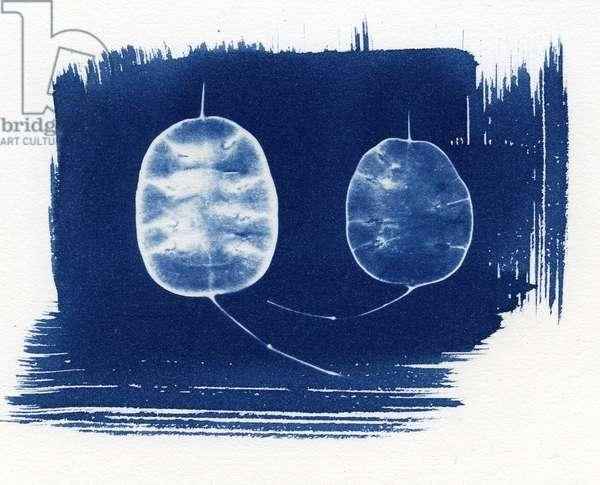 Honesty seed heads, 2013 (cyanotype)