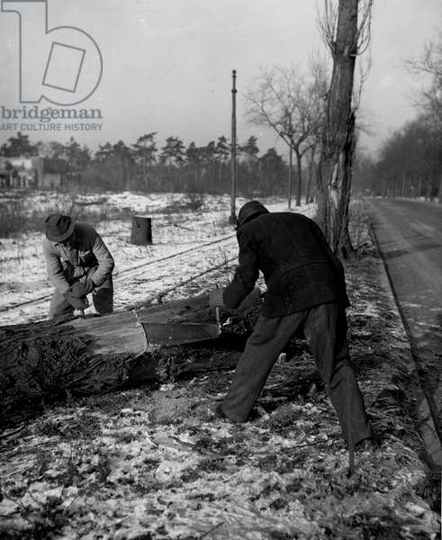 Second World War (1939-1945): Berlin Dahlem (Germany) 20 January 1946: In the Grunewald forest, on the Kronprinz Allee fighting the cold, two Berlin residents cut wood to heat themselves under the supervision of the American Military Government.