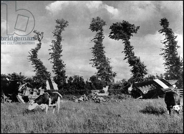 Debarking in Normandy on June 6, 1944 (D Day or D Day): debris of Horsa gliders belonging to an American aeroport division in front of which cows graze. Manche (Normandy), photograph taken about June 8, 1944.