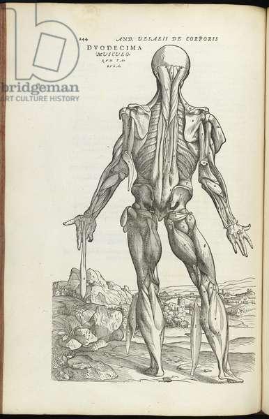 Anatomical Plate, 1555 (woodcut)