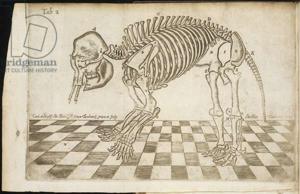 Side view of an elephant's skeleton, from 'A Full and Exact Description of All the Bones of an Elephant', 1713 (copper engraving)