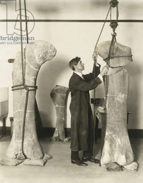 Dr. J. B. Abbott, prepared fossils of dinosaurs thigh bones for public display at the Field Museum. The specimens were found in the San Bernardo Hills of Chubut, Argentina, by Marshall Field Museum paleontological expedition headed by Prof. Elmer S. Riggs. c. 1925
