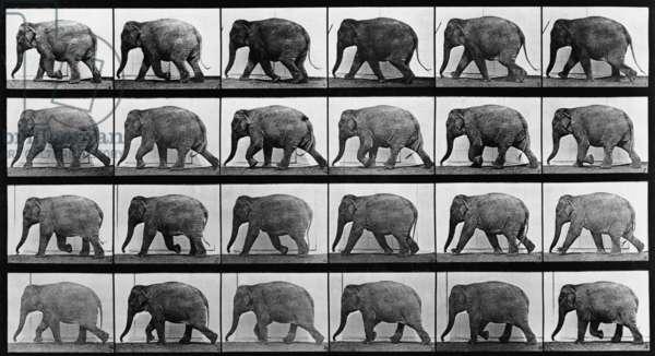 Consecutive images of an elephant walking. From Eadweard Muybridge's, ANIMAL LOCOMOTION, 1887