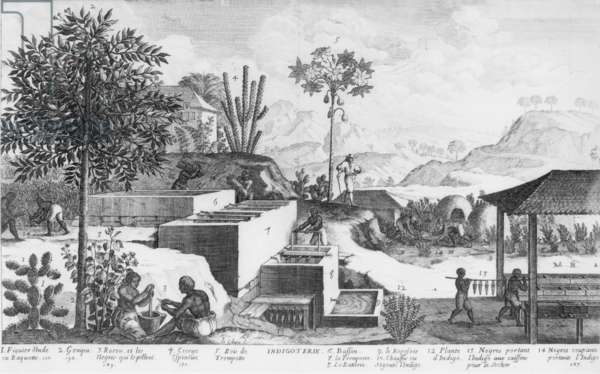 Slaves and their overseer working on a Caribbean plantation producing natural blue dye from indigo plants. Indigo plant's leaves soaked and fermented in bins to extract the blue dye, which was then processed further into blue powder, 1667 (engraving)