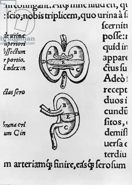 Kidney, two sections (b/w print)