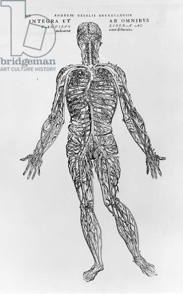 Veins and Arteries system (b/w print)