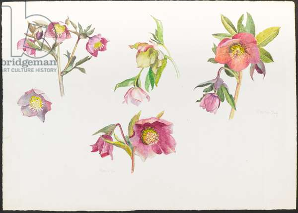 Helleborus Orientalis, Lenten Rose (w/c on paper)