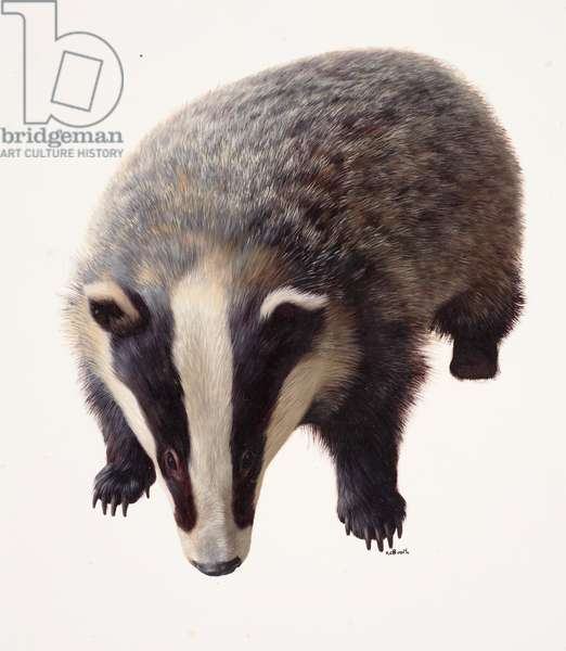 Study of a badger (oil on paper)