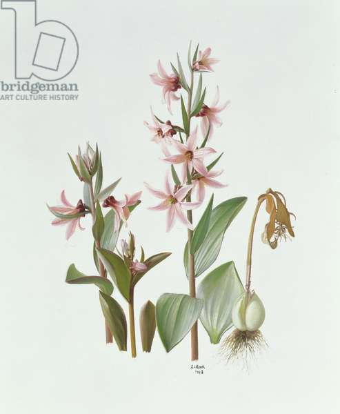 Fritillaria Stenanthera, 1993 (oil on paper)