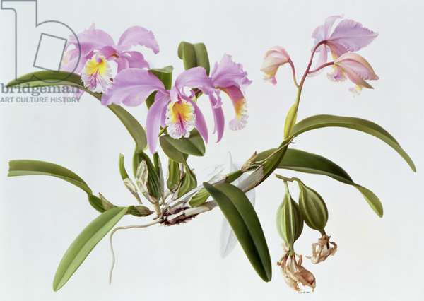 Cattleya Mossiae, 1996 (oil on paper)