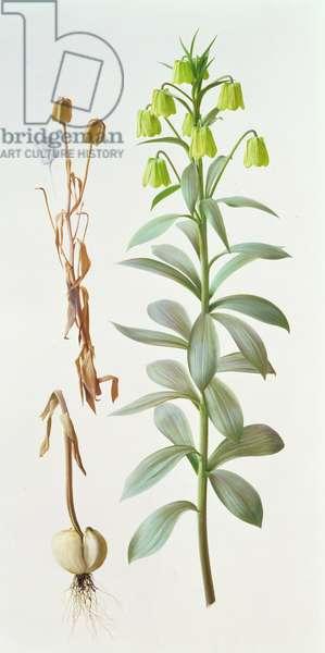 Fritillaria Pallidiflora, 1993 (oil on paper)