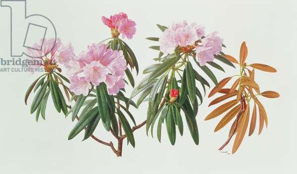 Rhododendron Metternichii Micranthum, 1999 (oil on paper)