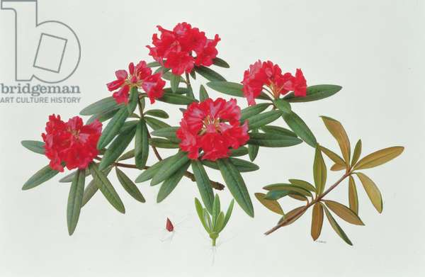 Rhododendron Microgynum, 1997 (oil on paper)