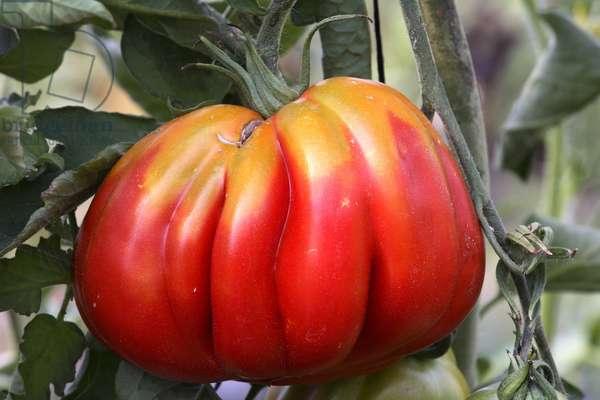Tomato 'Brandywine' (Lycopersicon esculentum). Old tomatoes. Organic culture. Magnani operation. Nice