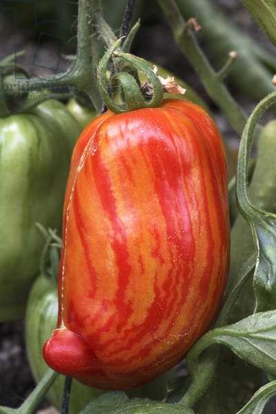 Striped tomato 'Roma stripe' (Lycopersicon esculentum). Old tomatoes. Organic culture. Magnani operation. Nice