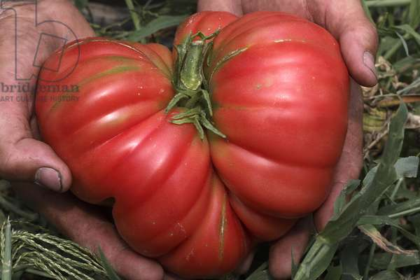 Pink tomato 'Ponderosa pin' (Lycopersicon esculentum). Old tomatoes. Organic culture. Magnani operation. Nice
