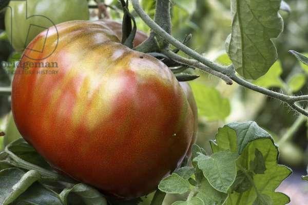 Tomato 'black prince' or 'Siberian' (Lycopersicon esculentum). Old tomatoes. Organic culture. Magnani operation. Nice