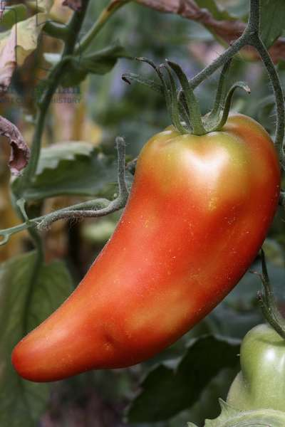 Long red tomato 'Cornue des Andes ou Andean' (Lycopersicon esculentum). Old tomatoes. Organic culture. Magnani operation. Nice