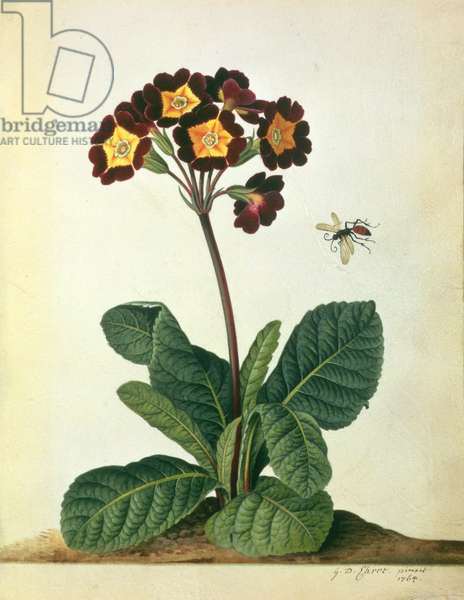 Primulaecae: a Flowering Polyanthus with a Flying Insect, 1764 (pencil, w/c & gouache on vellum)