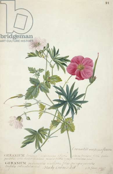 Geranium. Two intertwined stems of different species, 1767 (w/c, graphite & bodycolour on paper)