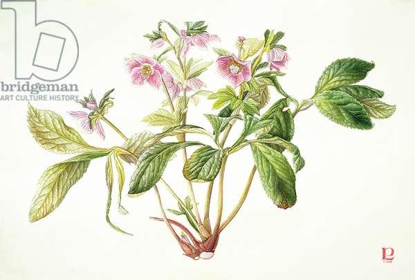 Helleborus Orientalis x 'Margaret Matthew', 2000 (w/c & gouache over graphite on paper)