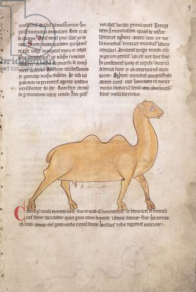 Ms.254 f.9r Camel from a bestiary in Latin, English, early 13th century (manuscript)