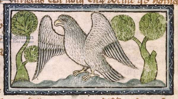 MS 379 f.14v A white eagle with spread wings, detail from a Bestiary, English, 14th century (vellum)