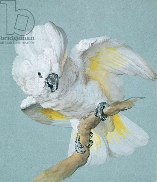 A Great White Crested Cockatoo (gouache on blue paper)