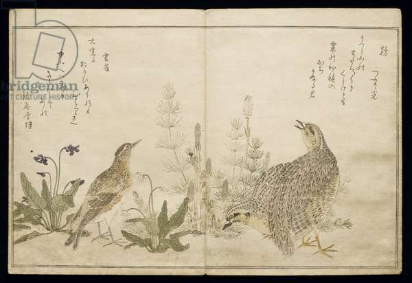 P.332-1946 Vol.1 f.1 Pair of Quail and grasses on the right and a Skylark amid grasses on the left, from an album 'Birds compared in Humorous Songs', 1791 (colour woodblock print)