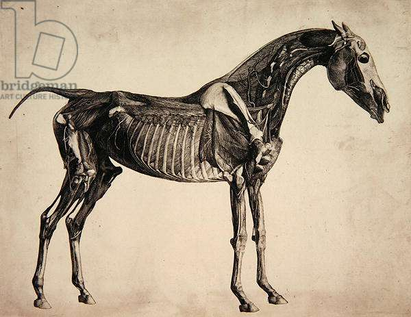 "Plate from ""The Anatomy of the Horse"", c.1766 (engraving)"