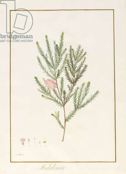 Melaleuca, including Five Studies of the Bloom (w/c & bodycolour on vellum)
