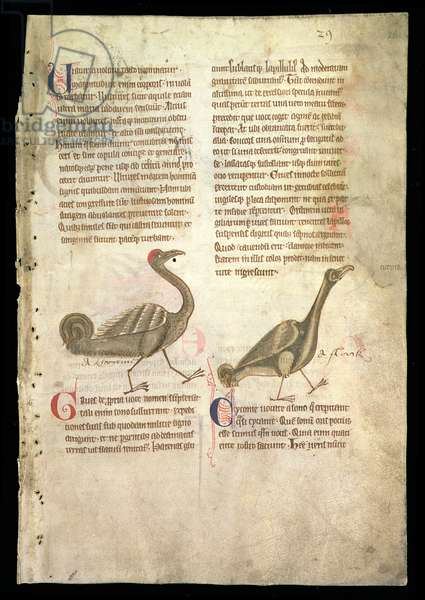 MS.254.f26r A Crane and a Stork/Grues and Cyconie, from an English Bestiary, early 13th century (vellum)