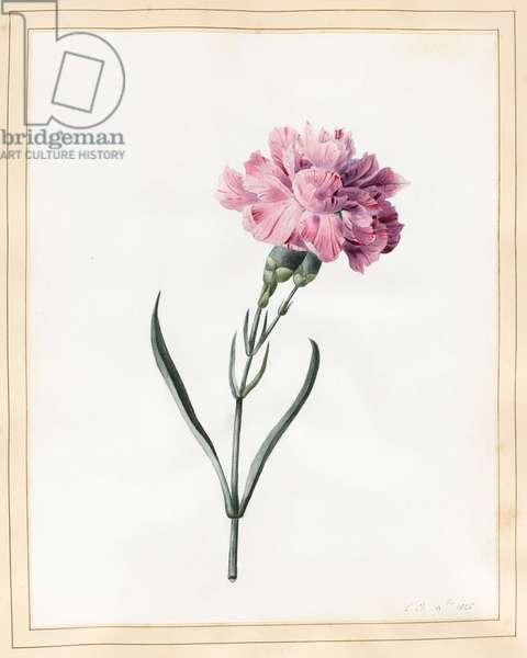 Carnation, 1826 (w/c on vellum)