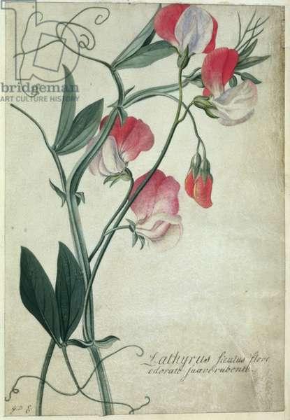 PD.113-1973.f1 Lathyrus Siculus Flore, c.1760-70 (w/c on vellum)