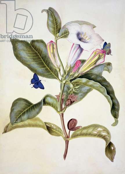 No.3055c Thorn apple (Datura Wrightii) (w/c)