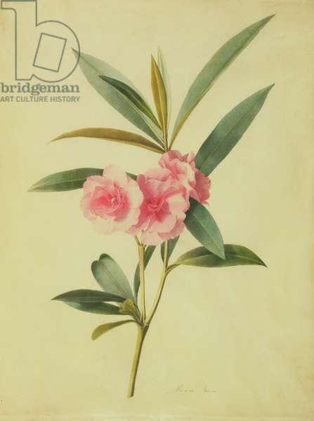 Nerium Oleander (Rose Bay) (w/c on vellum)