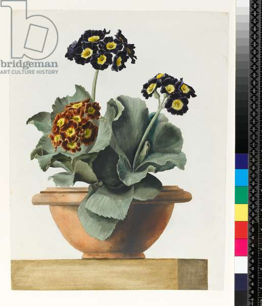 PD.199-1973 Potted Auricula, 1817 (w/c)