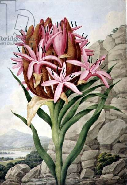 PD.757-1973 Spear Lily (Doryanthes excellsa), 1823 (w/c and gouache on board)