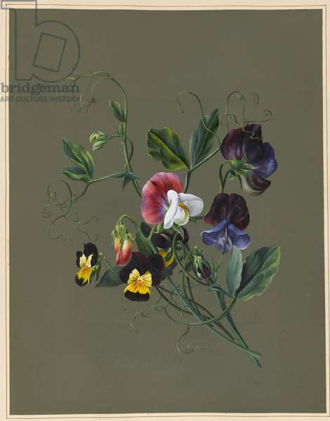 Sweet Peas (Quitro) and Violas, 1830 (w/c & bodycolour on paper with a prepared ground)