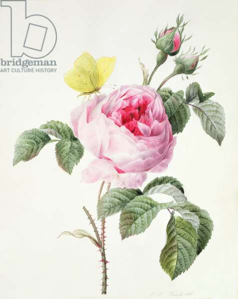 PD.107-1973.f11 Pink rose with buds and a brimstone butterfly, 1826 (w/c and gouache)