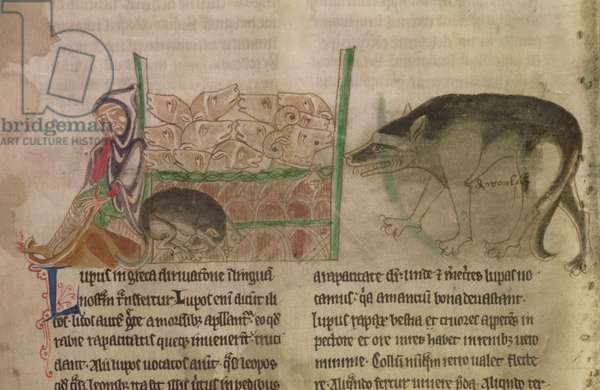 MS 254 f.19v A wolf approaching a sheep pen while the shepherd sleeps, from a Bestiary, English, early 13th century